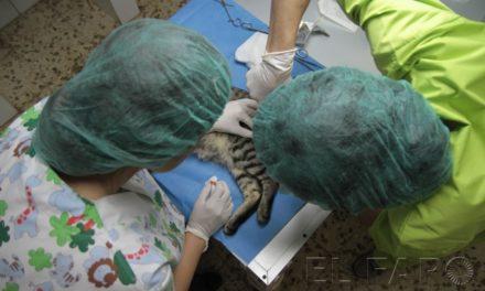 Así se esteriliza a  un gato callejero