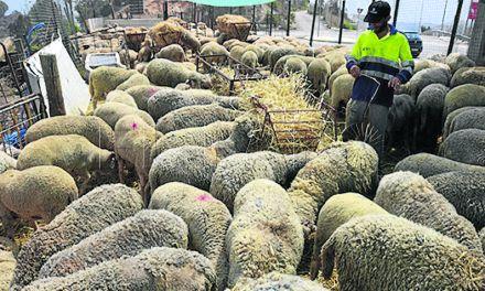 Sanidad ha autorizado la entrada en Ceuta de casi 4.500 cabezas de ganado para la Pascua del Sacrificio