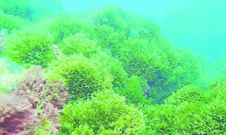 Un alga con efectos dramáticos