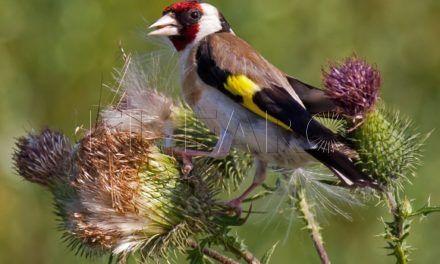 Un total de 1.575 aves fringílidas se capturaron en Ceuta desde 2011