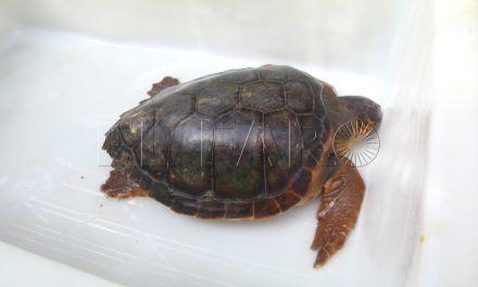 CECAM recupera una nueva tortuga boba de la almadraba de Fray Martín