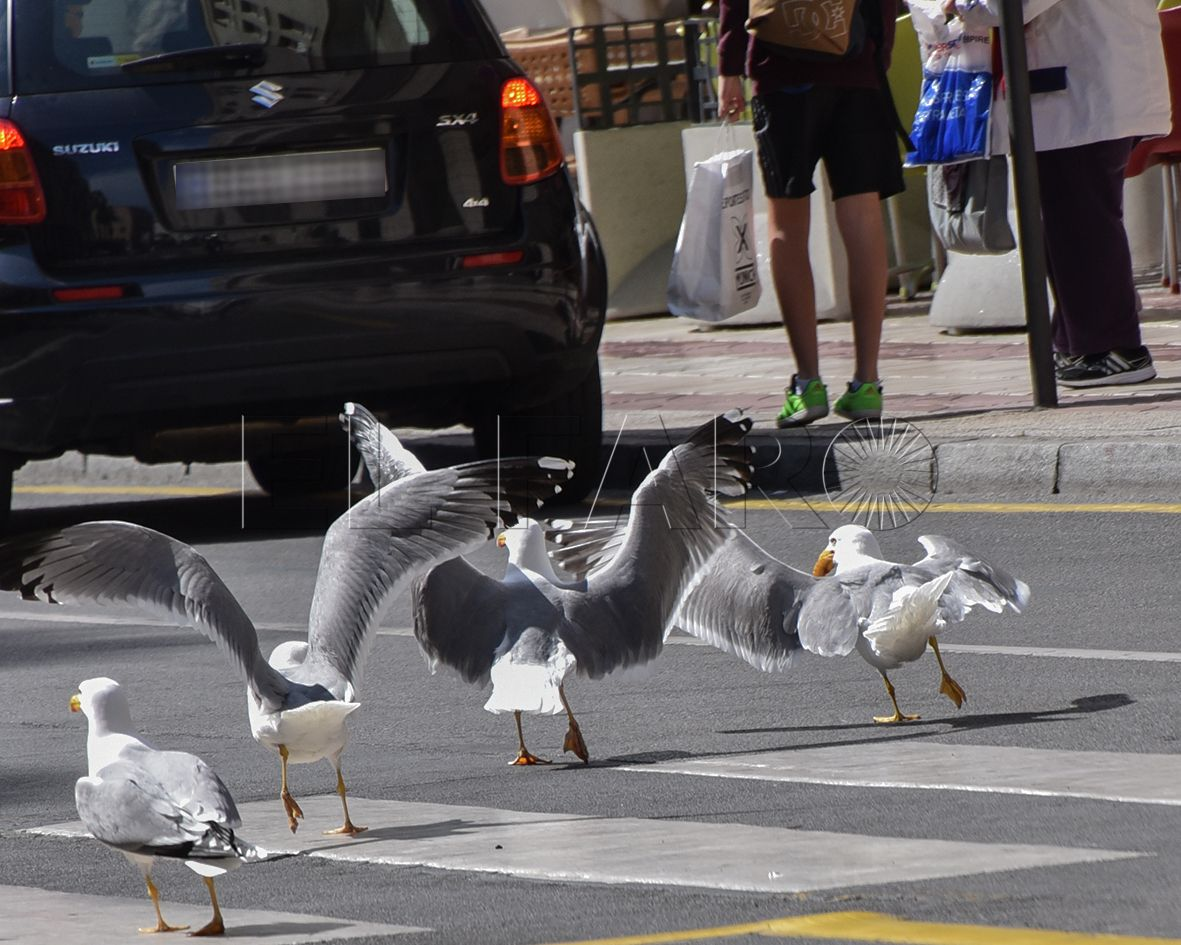 SEO-Ceuta estudia el impacto medioambiental de las gaviotas