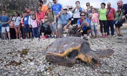 Suelta de la primera tortuga de la temporada al mar