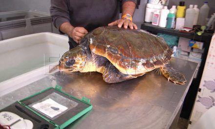 El CECAM recupera la primera tortuga de la temporada