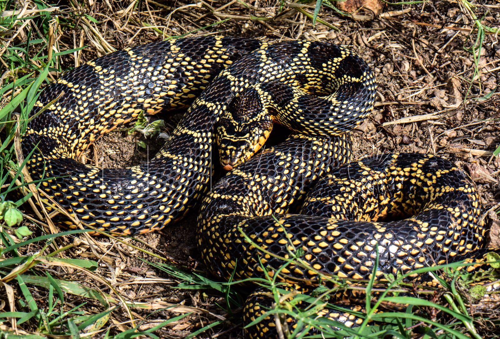 Varias asociaciones critican las muertes de las serpientes en Ceuta
