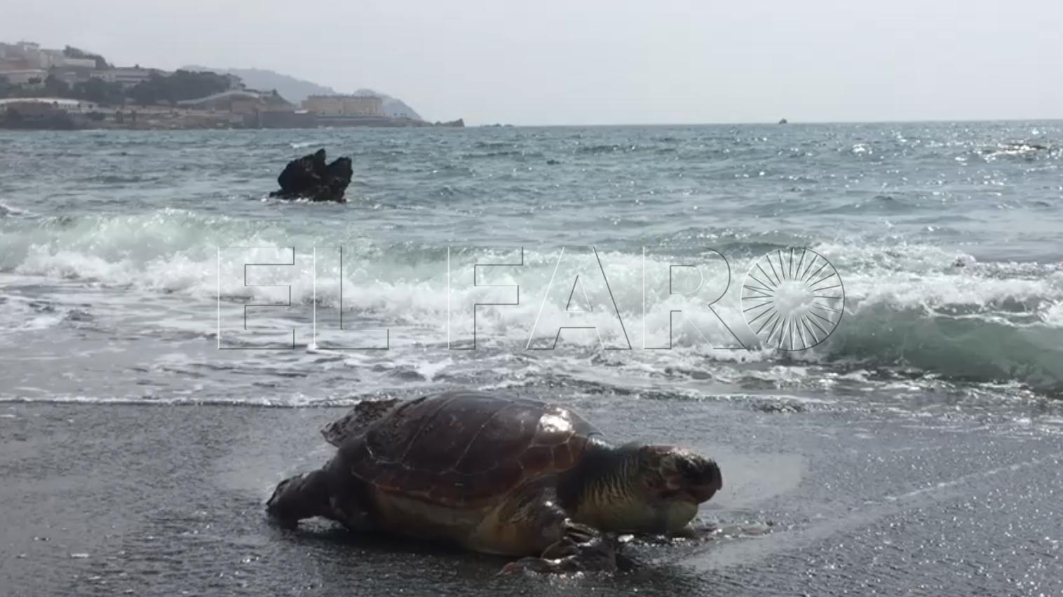 Aparece una tortuga muerta en la playa del Tarajal