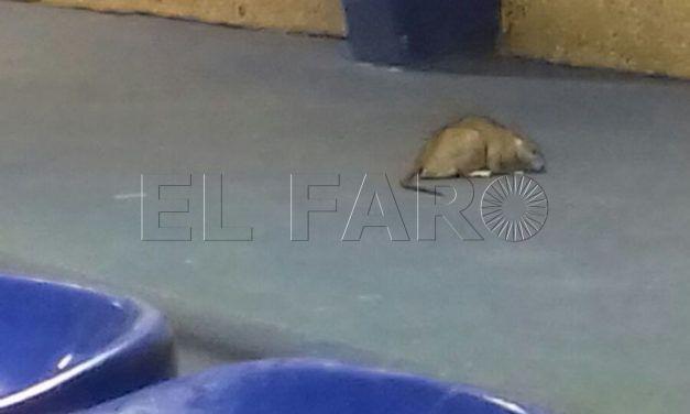 Denuncian la presencia de ratas en el pabellón de Santa Amelia
