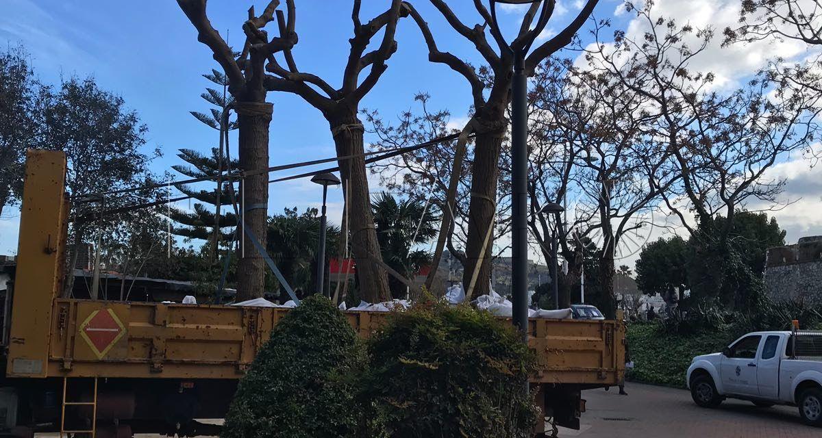 Parques y Jardines de la Ciudad proceden a reubicar moreras