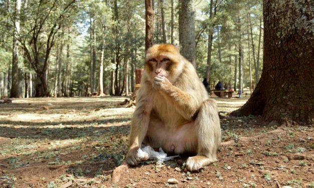 Macacos de berbería: Los monos del Atlas que sufren obesidad y accidentes de tráfico
