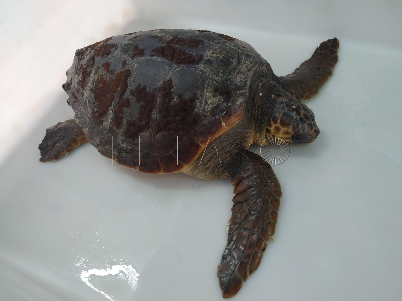 tortuga-almadraba-cecam-agosto-12-2