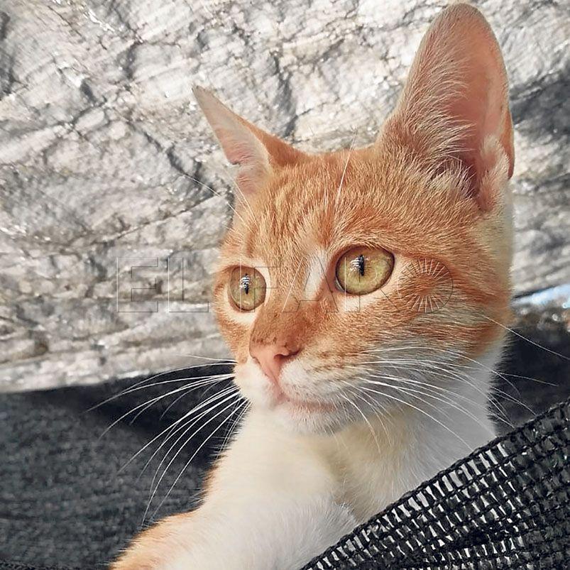 Piluca-gato