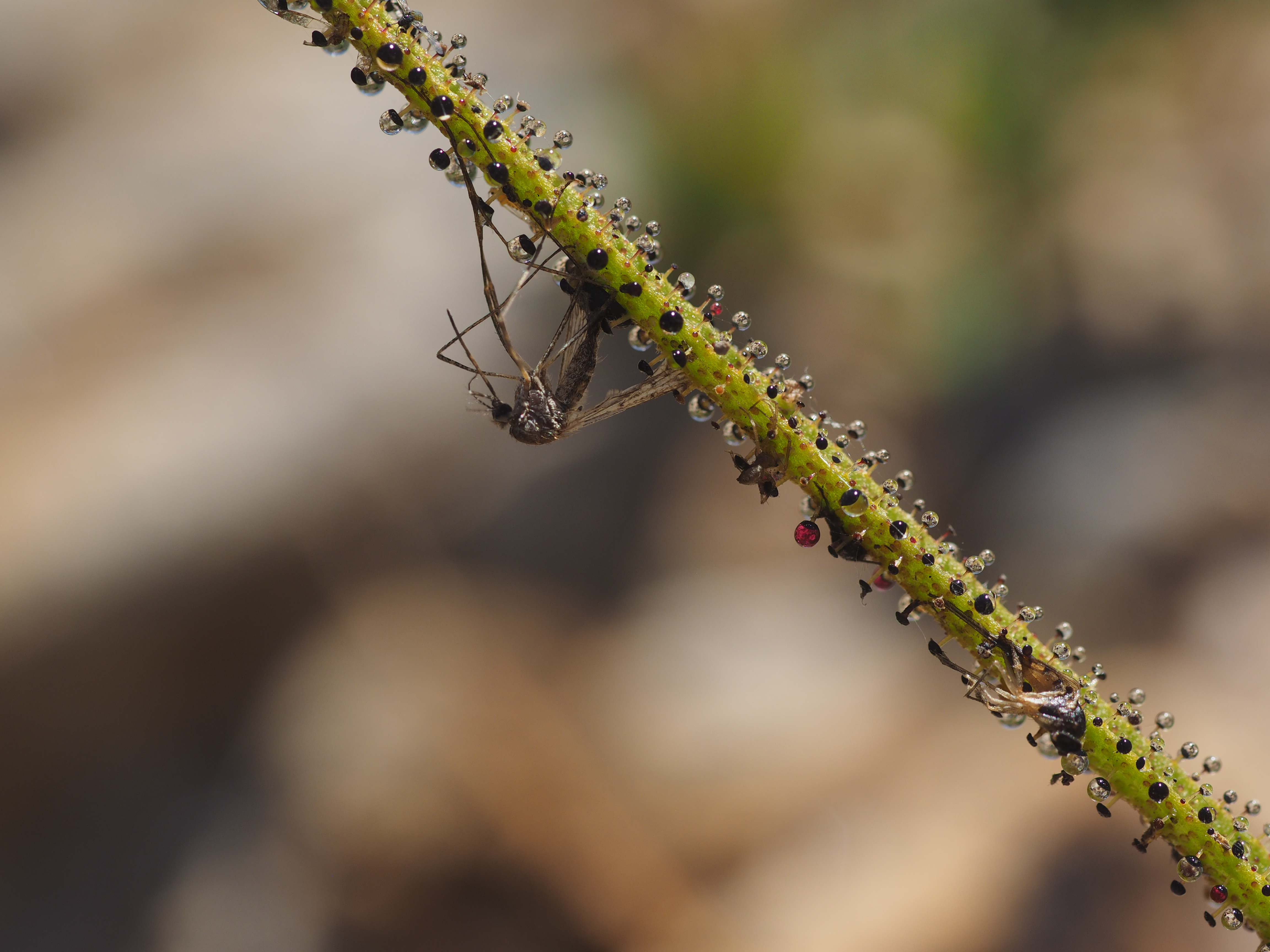 planta-carnivora-estrecho-8