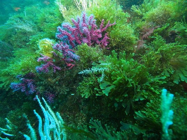 alga-invasora-bahia-norte-1