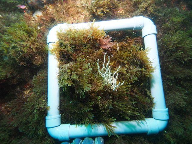 alga-invasora-bahia-norte-2
