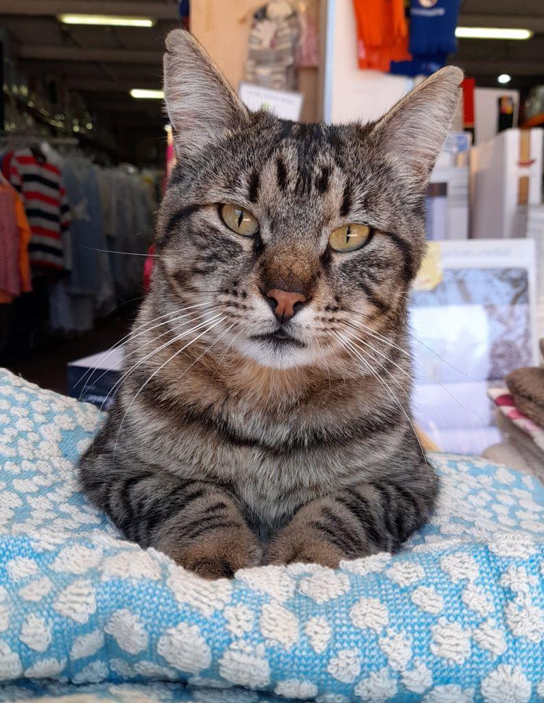 tigreton-gato-perdido-2